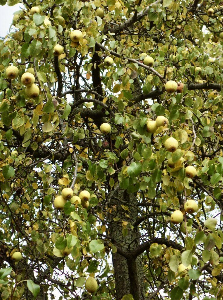Ribbeck. Üppige Früchte. Birnen für alle.