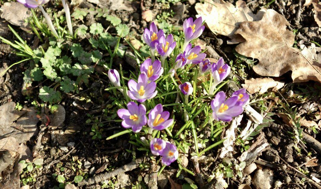 Genshagen. Der Schlosspark. Ein Kleinod und ein lilablaues Band im Frühling.