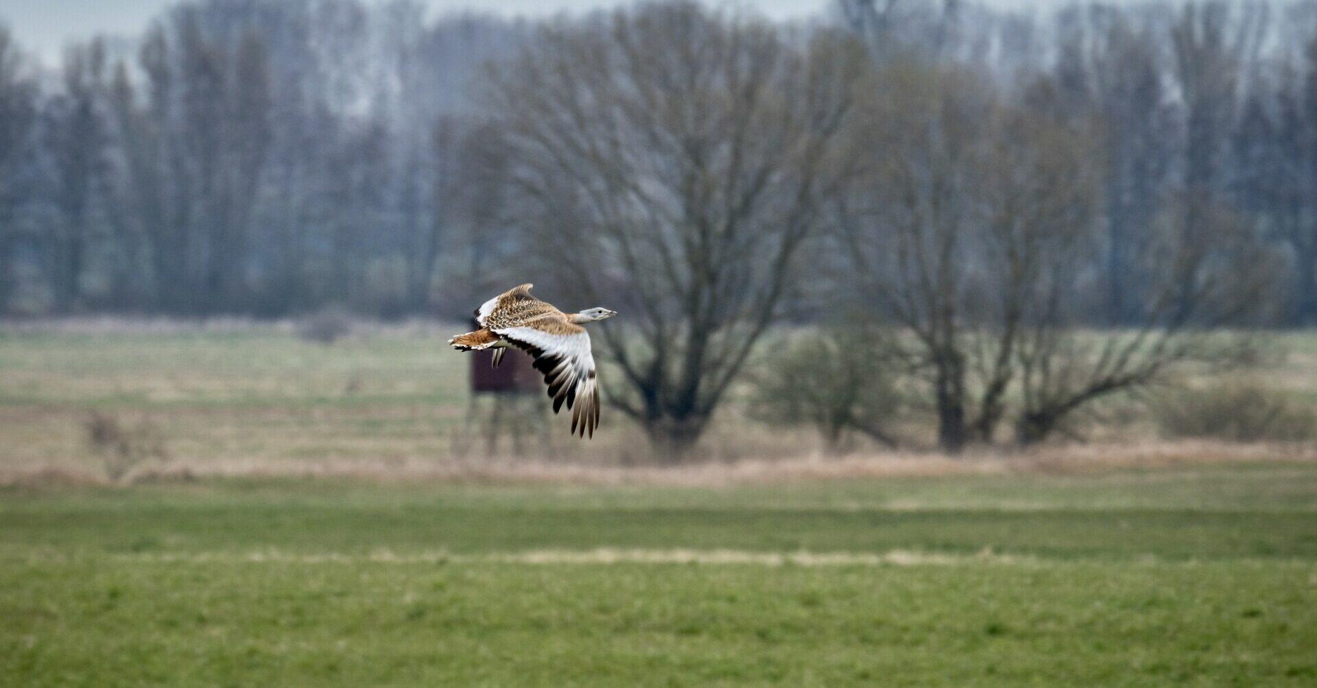 fliegende Großtrappe bei Buckow